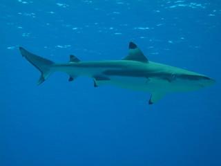 Wall Murals Dolphins Tiburon Punta Negra sobre azul