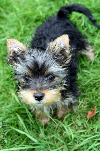 3 Months Old Yorkshire Terrier Stock Photo And Royalty Free Images