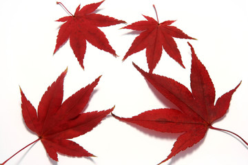 Four Isolated Red Maple Leaves with subtle shadow