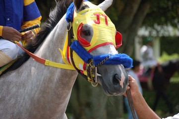 Grey Horse Yellow Blinders