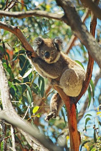 Wall mural Koala resting on a branch in Australia.