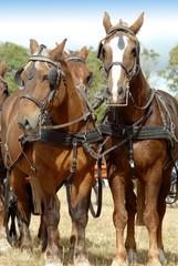 chevaux lourds attelés