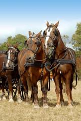 attelage de chevaux lourds