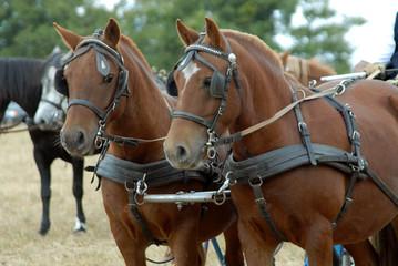 poneys attelés en paire