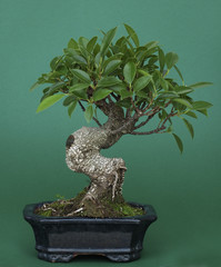 Bonsai (Ficus retusus)