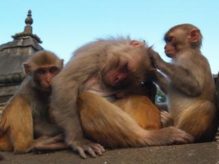 Autocollant pour porte Delhi Monkeys at Kathmandu Temple