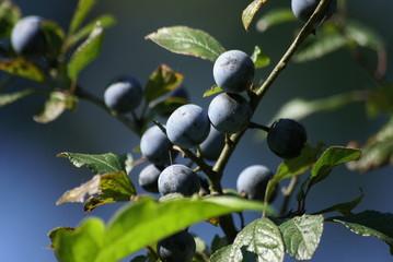 Schlehdornfrüchte