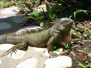 Iguane geant