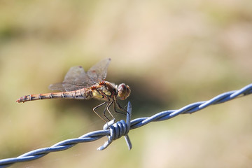 Dragonfly on barbed wire with spider silk