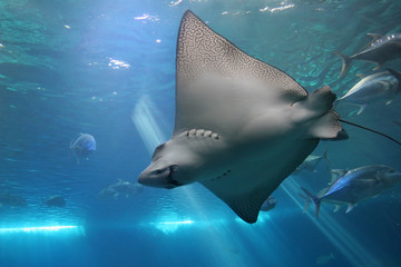 Spotted Eagle Ray and Giant Trevelly fish