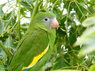 Cobalt-Winged Parakeet in tree