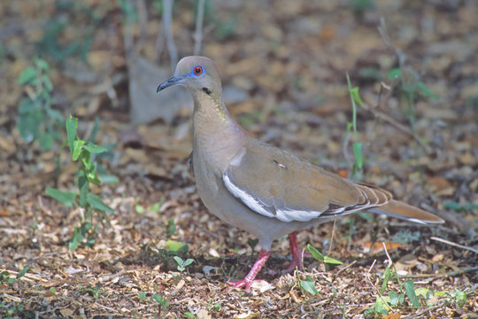 White-winged Dove resting before going to the feeder