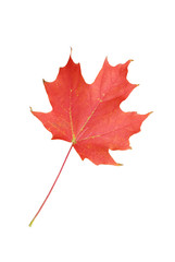 Red maple leaf isolated on white. Symbol of Canada.