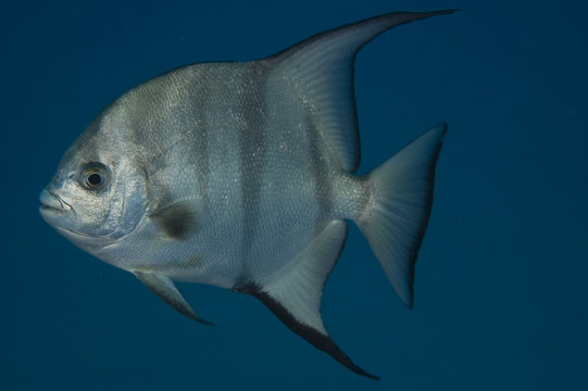 Atlantic Spadefish, Chaetodipterus faber