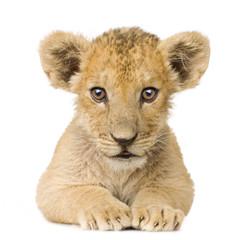 Foto auf Leinwand Löwe Lion Cub (3 months)