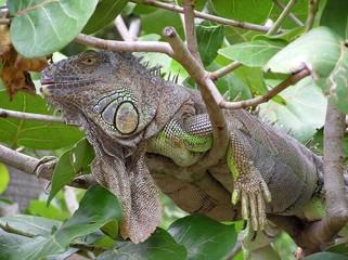 Iguana on tree branch