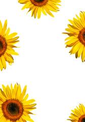 Sunflower Beauties