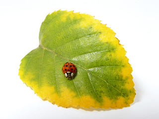red ladybug sitting on the autumn leaf