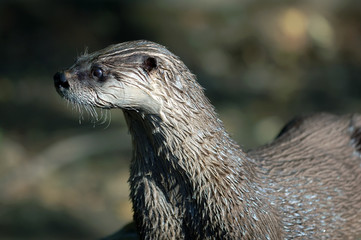 Northern River Otter (Lontra canadensis)