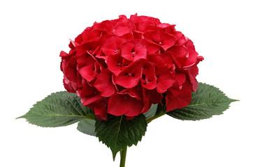 Zelfklevend Fotobehang Hydrangea Red Hydrangea