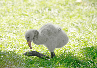 Baby Flamingo Just Learning How to Walk