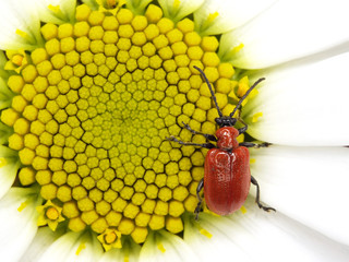 Red bug on small sun
