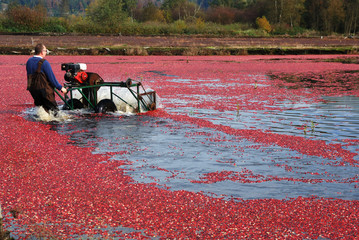 farmer using thresher beating off cranberries in the bog