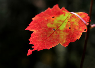 Crimson Backlit Maple Leaf