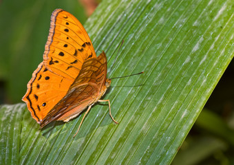 orange monarch butterfly sits on a long green palm leaf