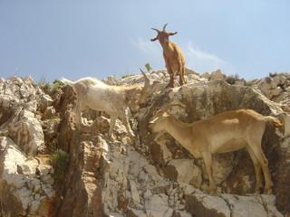 Chèvres sauvages en Provence