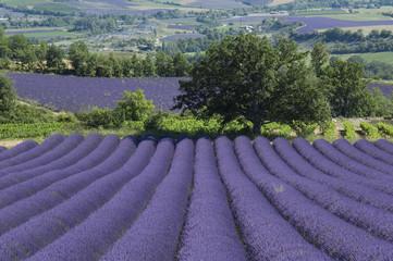 Spoed Fotobehang Lavendel Arbre solitaire devant un champ de lavande Provençal