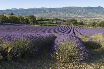 Spoed Fotobehang Lavendel champ de lavande Provencal