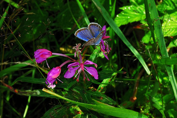 blue butterfly and pink flower