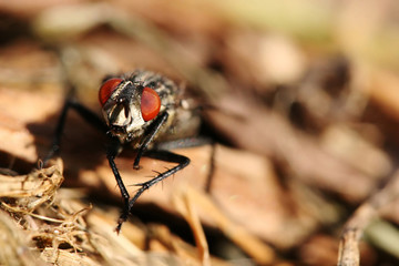 Close-up of asking fly - Sarcophaga carnaria