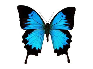Blue swallowtail.