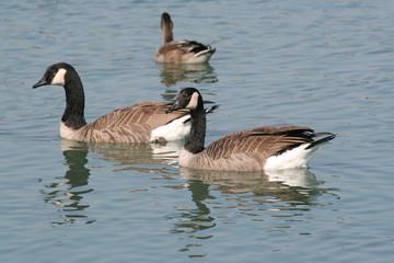 Geese on lake2