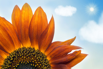 beautiful orange decorative Sunflower