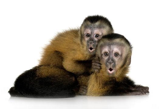 Two Baby Capuchins - sapajou apelle