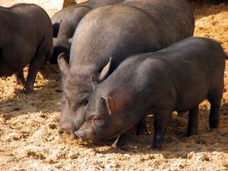 black pigs