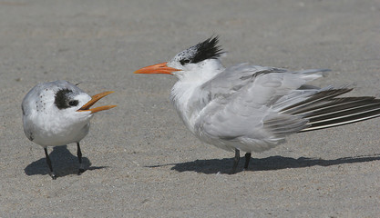 Fotoväggar - Baby Royal Tern Begging for Food