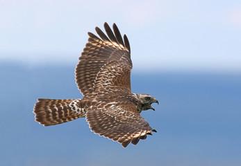 Fotoväggar - Red-shouldered Hawk Calling in Flight