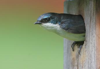 Fotoväggar - Tree Swallow in Bird House