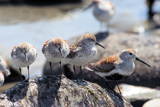 Western Sandpiper and Dunlin on the Beach