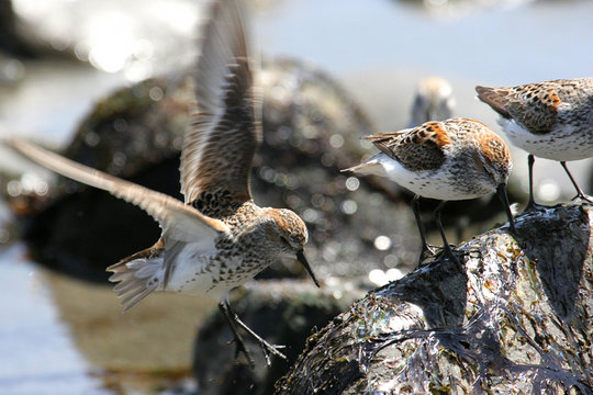 Western Sandpiper with Dunlin by the Pacific Ocean Beach