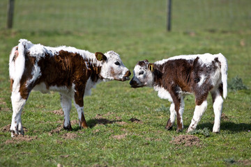 Two youn cows
