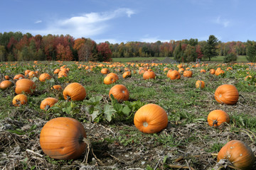 Field of pumpkins ready to harvest