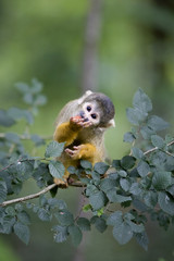 Foto auf Acrylglas Affe Common Squirrel Monkey