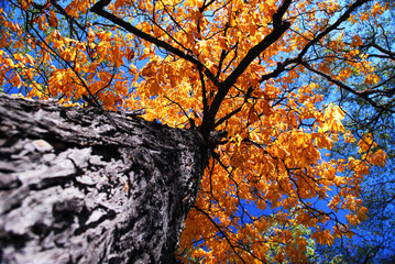 Old elm tree in the fall
