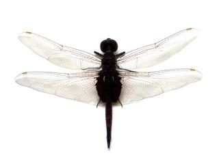 libellule face dorsale