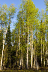 Spoed Foto op Canvas Berkbosje Birch trees
